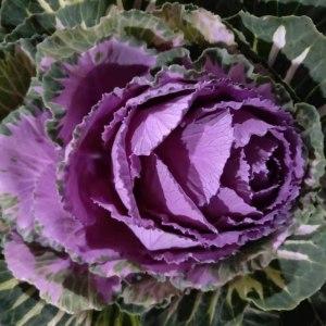 大叶牡丹紫 (1枝/扎)