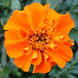 万寿菊橙色 (若干枝/扎)