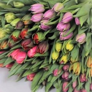 荷兰郁金香重瓣-混色 (10枝/扎)