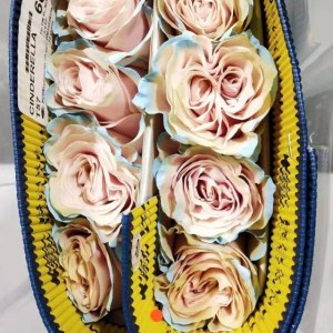 厄瓜多尔染色玫瑰-伊莎贝拉 (10枝/扎)