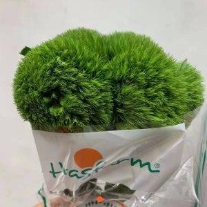 哥伦比亚绿毛球 (10枝/扎)