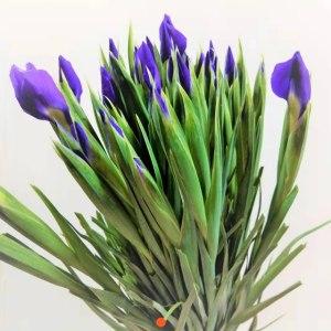 荷兰鸢尾-紫色 (10枝/扎)