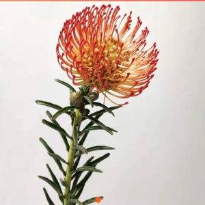 南非针垫-红色40cm