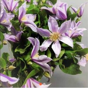 荷兰铁线莲-浅紫 (10枝/扎)
