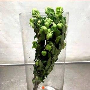 荷兰兔葵-绿色