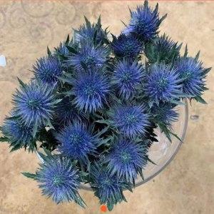荷兰刺芹蓝星球-60cm (5支/扎)