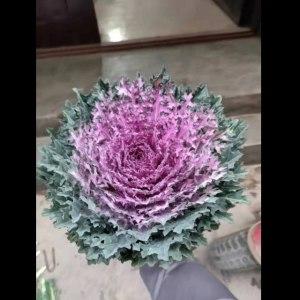 齿边紫色叶牡丹