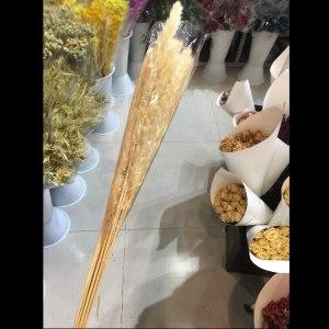 米白色小芦苇干花