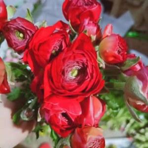 洋牡丹-大红
