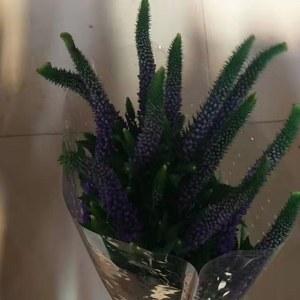 鼠尾--紫色