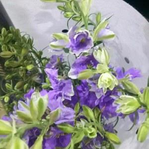 千鸟飞燕--紫色