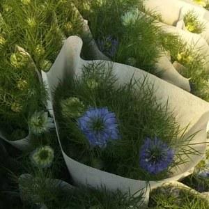 黑种草--蓝色