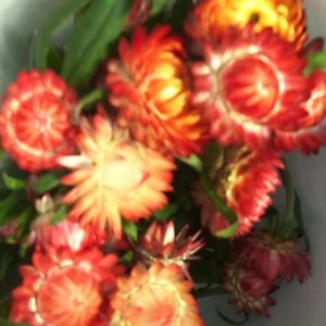 麦秆菊--红色