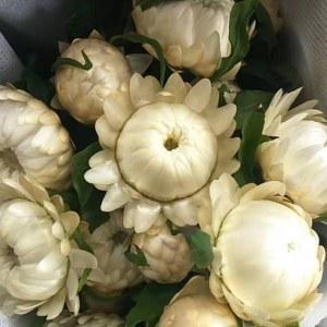 麦秆菊--白色