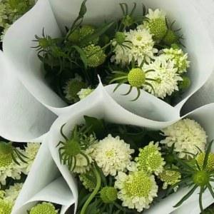 松虫草--白色