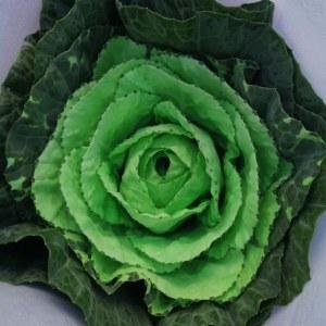 吸色叶牡丹绿色