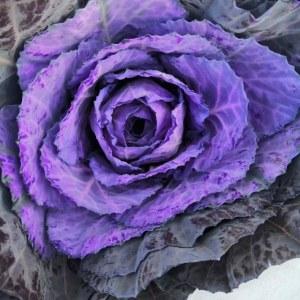 吸色叶牡丹紫色