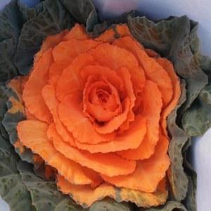 吸色叶牡丹橙色