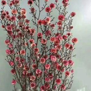 永生虎眼-玫红色