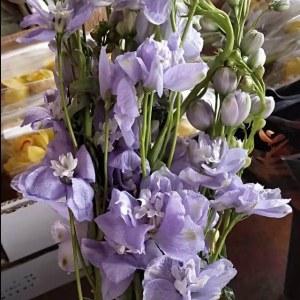 大飞燕-浅紫