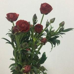 蝴蝶牡丹-红色