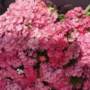 粉色石竹梅