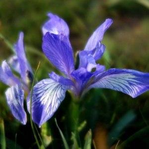 鸢尾-蓝色