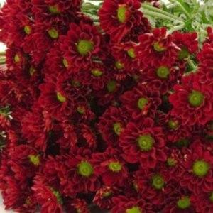 小菊绿心红