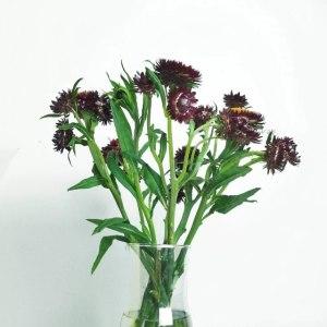 麦秆菊紫色
