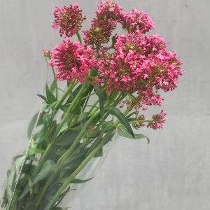 鹿子草-粉色