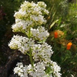 鹿子草-白色
