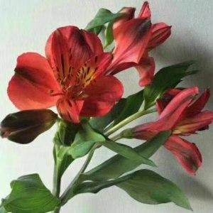 水仙百合-红色