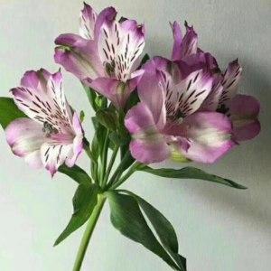 海盛水仙百合-紫色