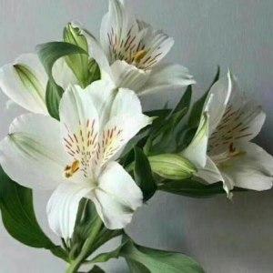 水仙百合--白色