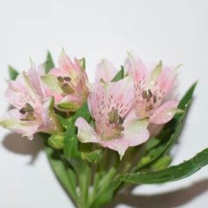 水仙百合-深粉色