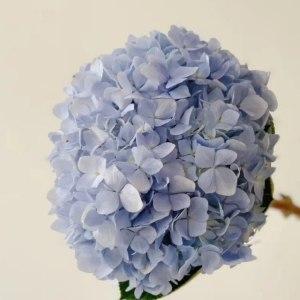 绣球浅蓝 (1枝/扎)