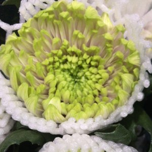 绿安娜-烟花菊