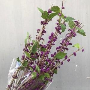 紫精灵(紫珠)