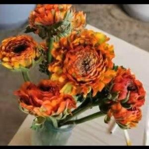锦鲤--橙色