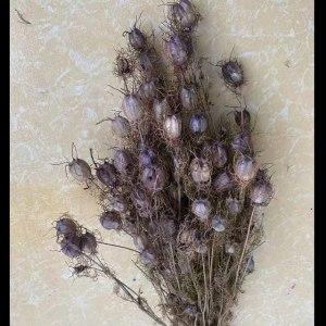 黑种草--紫色