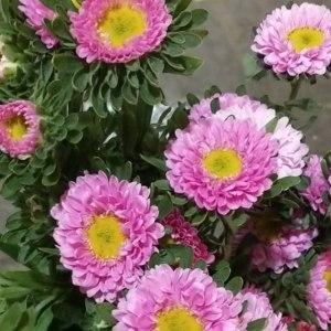 翠菊-浅粉色