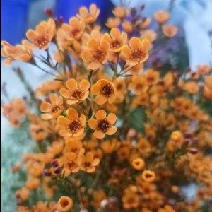 平头腊梅橙色(中花)