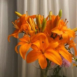 橙色梦想多头百合