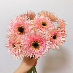 粉拉丝非洲菊