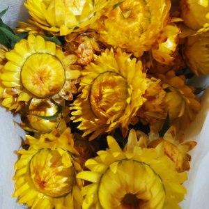 麦秆菊--黄色