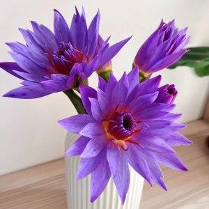睡莲紫色 (10支/扎)