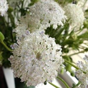 翠珠白色 (若干枝)