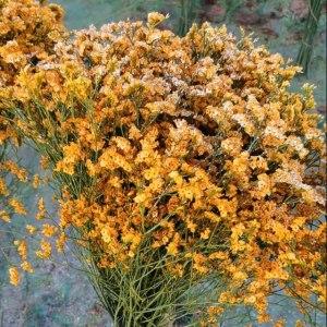 金黄水晶草